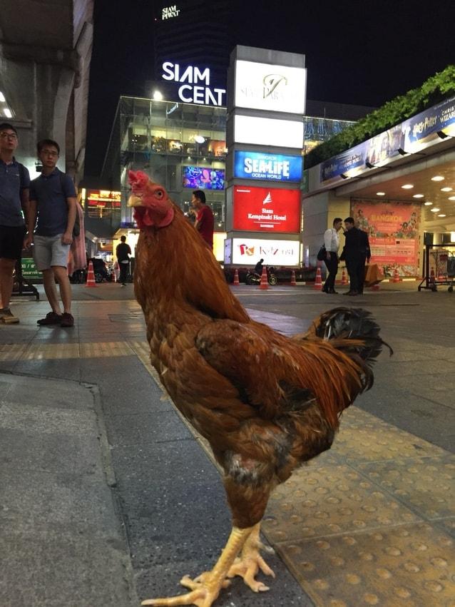 ที่แท้ ไอ้เหลือง ไก่คู่ชีวิตไอ้จ้อย ใน บุพเพสันนิวาส คือไก่เน็ตไอดอลตัวนี้